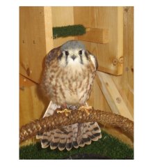 The_American_Kestrel_at_Eagle_Bluff_Environmental_Learning_Center